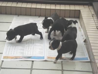 Vendo filhotes de Boston Terrier