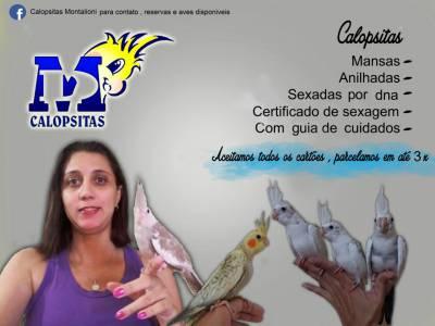 FILHOTES DE CALOPSITA MANSOS