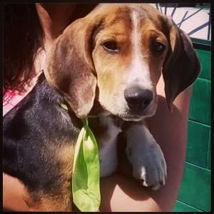 Beagle procura fêmea para acasalar