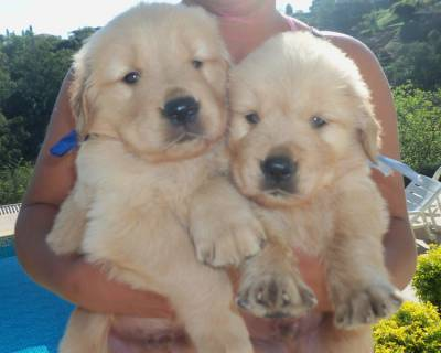 Maravilhosos Filhotes de Golden Retriever-Pedigree