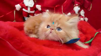 gatinhos persas itaquera