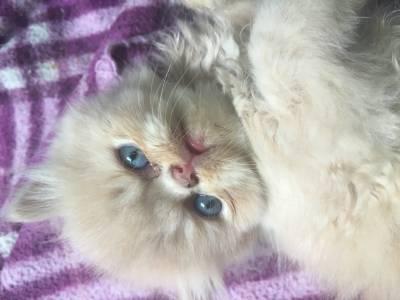 gatinhos persas zleste