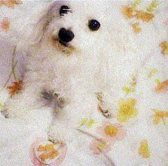 Procuro Poodle Macho