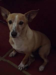 Cachorro perdido em Campinas