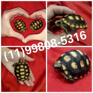 Mini tartaruga- Entrego ainda hoje
