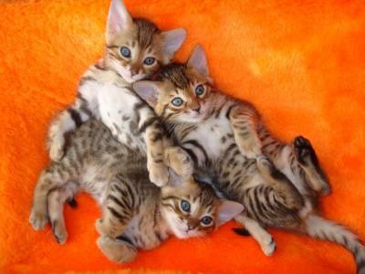 Bengal lindos filhotes