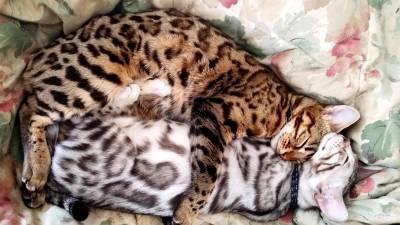 Bengal lindos filhotes já vermifugado