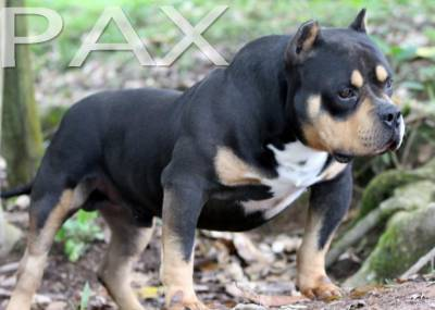 American Bully Pocket Bully Paxblood