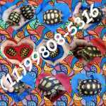 Presente  - Tartaruga doméstica