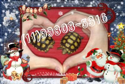 Tartaruga Jabuti de criação - saudáveis e lindos