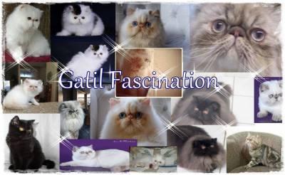GATO PERSA - GATIL FASCINATION