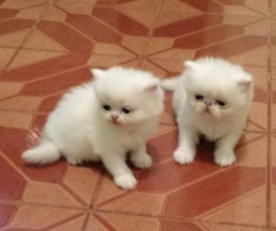 lindos fofos gatos persas