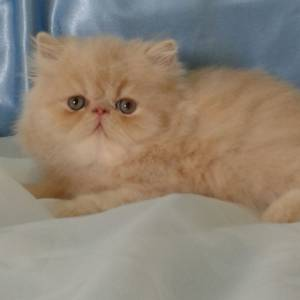 gatos persas zleste