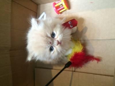 lindos filhotes de gatos persas