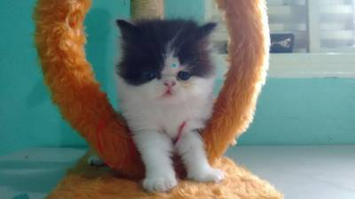 gatinhos persas promiçao aproveite