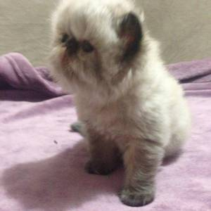 Gato Persa Colorpoint Olhos Azuis