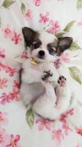 Chihuahua femea micro pelo longo