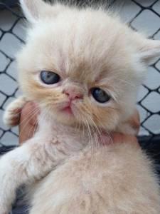 Gato Exótico de Pêlo Curto