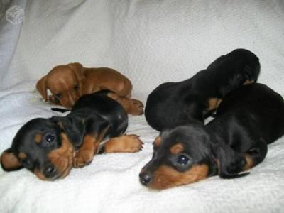 Pincher r santos cachorros animais de estima o for Pinscher medio