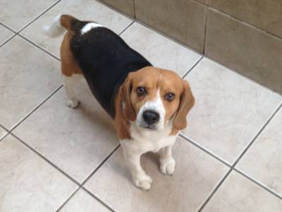 Beagle Macho para cruzamento