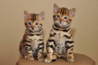 Bengl gatos lindos