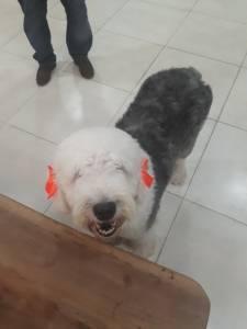 Procura-se Sheep Dog Macho