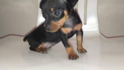 Pinscher r salto rua sele cachorros animais for Pinscher medio