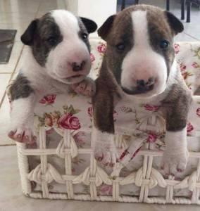 Bull Terrier Encantador