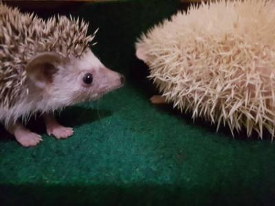 Hedgehog ouriço pigmeu africano