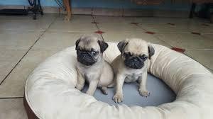 Filhotes De Pug-Abricot