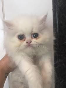 gato persa bco lindo zleste