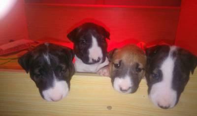 lindos filhotes de raça bull terrier