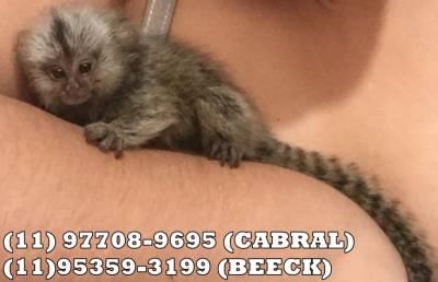 vendo macaco Sagui