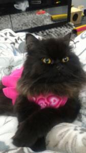 Procura-se namorado Gato Persa