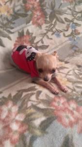 Procuro Chihuahua Macho Pequeno Porte